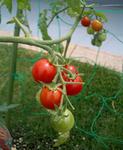 トマト06212.JPG