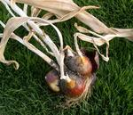 チューリップの球根