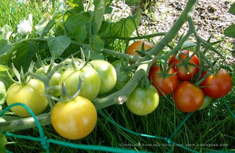 トマト0707.jpg